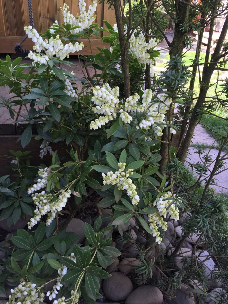 Pieris Japonica or lilly of the valley shrub (also known as andromeda)