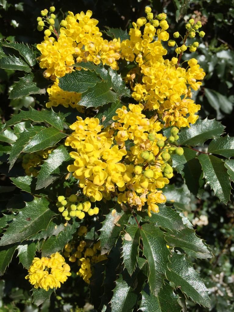Oregon grape—Oregon's state flower