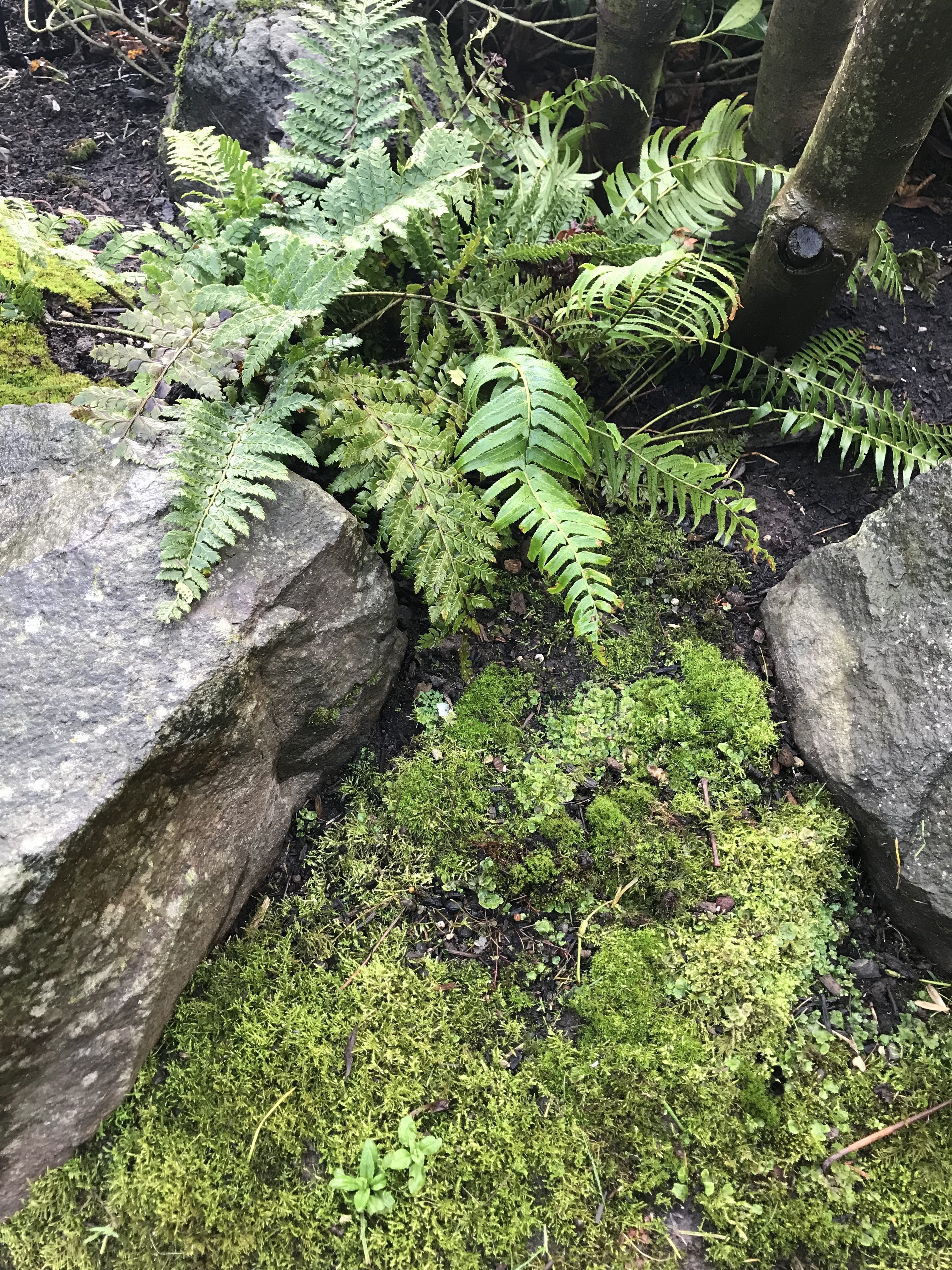 Ferns with rocks and moss