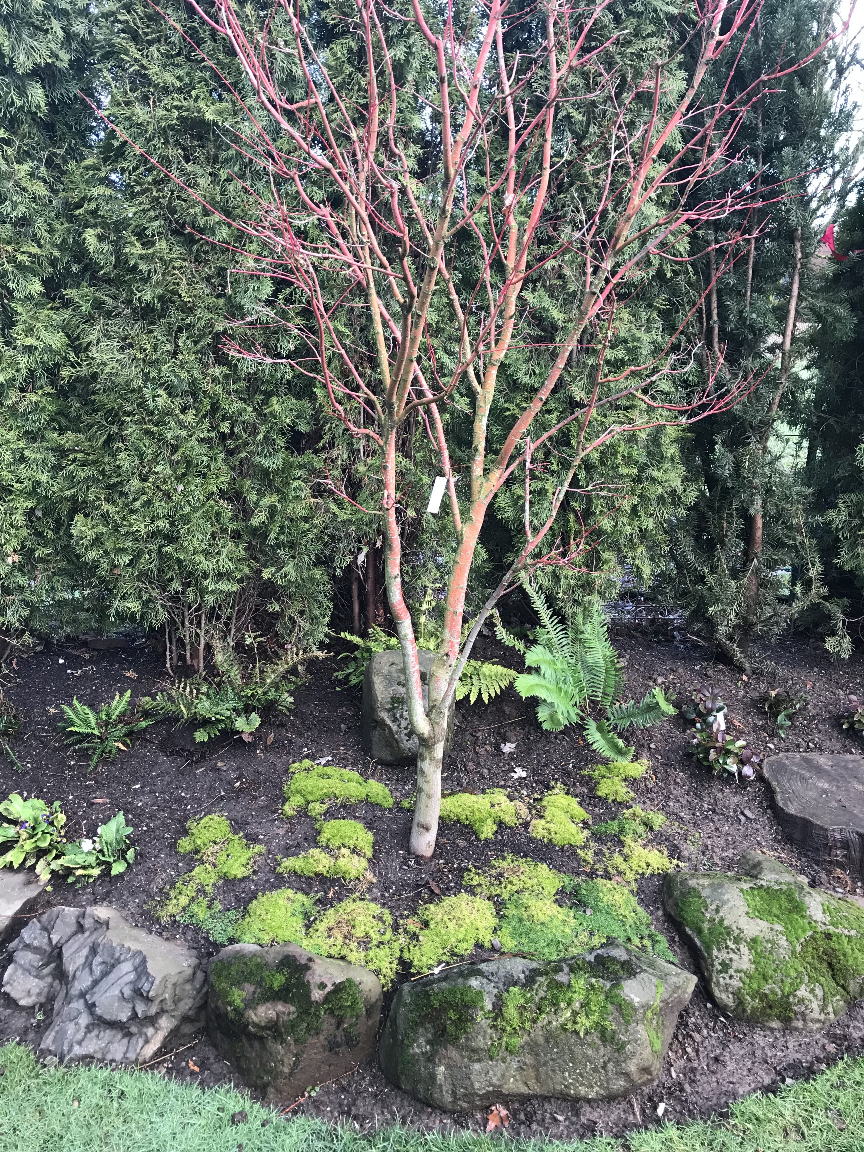 Coral Bark Maple in landscaping